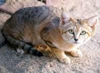 Je toto kočka Pouštní ?? (náhled)