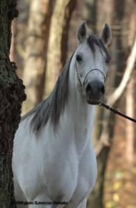 Nejstarší koňské plemeno, o kterém se říká že je nejkrásnější na světě (náhled)