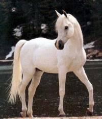 Nápověda:jsou prý nejelengatnější koně (náhled)