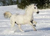 6) Poznej plemeno koně: (náhled)
