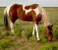 8) Poznej plemeno koně: (náhled)