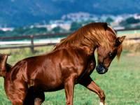 Tomuto plemenu se přezdívá Pouštní kůň a je to nejušlechtilejší plemeno na světě. (náhled)