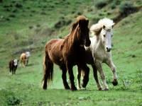 Obrázek zachycuje plemeno menšího koníka z Islandu.Jak se nazývá? (náhled)