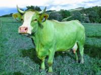 Tamta kráva je zelená. (náhled)
