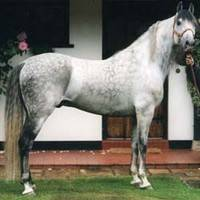 Původ: Španělsko, KVH: 150 - 160 cm, Barvy: bělouš, hnědák, vraník, ryzák.