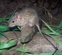Šedá myš (náhled)