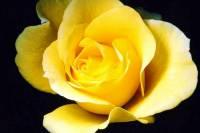 Žlutá růže (náhled)