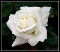 Bílá růže (náhled)