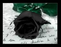 Černá růže (náhled)