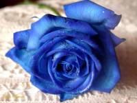 Modrá růže (náhled)