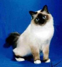 Jaká kočka je obrázku? (náhled)