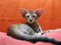 Jaké plemeno kočky vidíte na obrázku? (náhled)