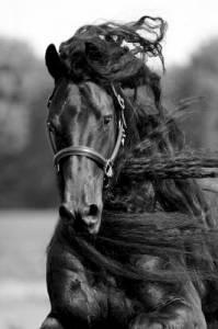Jaké má fríský kůň zbarvení? (náhled)