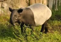 tapír čabrakový (náhled)