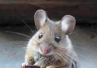 Jak se řekne myš? (náhled)