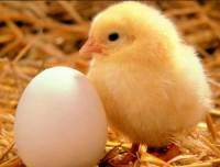 Jak se řekne kuře? (náhled)