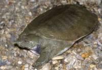 Dravá vodní želva s pružným krunýřem je... (náhled)