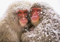 Japonská sněžná opice koupající se v horkých pramenech je... (náhled)