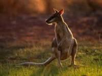 Když budete mít štěstí, narazíte ve volné přírodě na některého ze zvířecích domorodců. Ptáky ibise uvidíte v každém parku, klokany v podvečer na polích nebo třeba na golfových hřištích,  wallabies (malé klokánky) buď na skalnatých kopcích, nebo na pláních u lesa. Oposumové žijí v kdejakých městských parcích (i v Sydney), vombati se pohybují na podobných místech jako klokani, naproti tomu medvídkové koala jsou plaší a celý den tráví spaním v korunách stromů. Spatříte-li nějakého, můžete to považovat za veliké štěstí. Hlavně v centrální části Austrálie se můžete setkat i se psy________(doplnte), kteří většinou nejsou nijak nebezpeční, vyskytují se zde i volně žijící velbloudi a ptáci emu. V Tasmánii žijí tasmánští čerti (a kdysi tam byli i tasmánští tygři, kteří jsou již bohužel vyhubeni). Na severu zase můžete potkat kasuáry a krokodýly (oba dva dovedou být člověku nebezpeční), v mokřadech žije zase ptakopysk. Pokud budete u moře, máte velkou šanci spatřit delfíny. Při potápění můžete narazit na mořskou želvu, maurskou rybu, Nema, zévu obrovskou, ale i na malého žraloka.  (náhled)