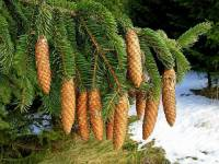 Jaký strom je na fotografii č.24? (náhled)