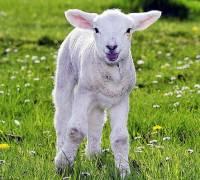 Mňam, travička, to je moje! Jsem malé jehňátko a moje maminka ovce domácí? (náhled)