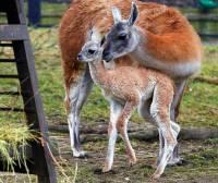 No tak, ať mě ta máma nechá, to strašně lechtá! A už jsem přece velká – myslíte, že jsem lama vikuňa? (náhled)