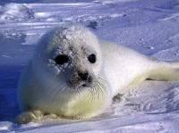 Všichni tvrdí, jak sníh studí, ale mě se v něm líbí – a není nad pořádnou klouzačku! Jsem malý tuleň grónský? (náhled)