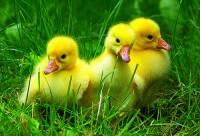 Máma sice tvrdí, že bychom se měla naučit plavat, ale nám se zatím líbí tady na zeleném, vždyť nám s tím hezky ladí i naše zatím zlatavá peříčka... Jsme malá kachňata? (náhled)