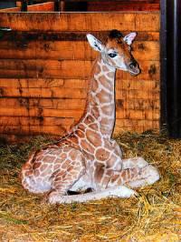 A maminko, na co máme ten dlouhý krk, když jsme v ZOO a jídlo nám dají pod čumáček a nemusíme ho shánět v Africe na vysokých stromech? No dobrá, třeba ho máme i proto, že nám sluší, protože jsme prostě žirafy – ale jaké? Jsem já malá žirafa Rothschildova?  (náhled)