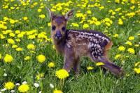 Jů, to mám hezký tečkovaný kožíšek! Jenže se bojím, že o svou ozdobu v dospělosti přijdu, i když maminka říká, že možná budu mít zas jinou, prý na hlavě – myslíte, že ze mě bude jelen? (náhled)