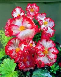 Jaký název má okrasná květina na obrázku č.11? (náhled)