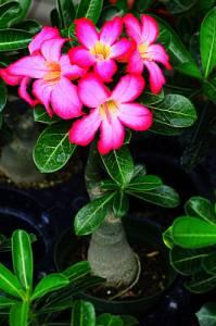 Pokojová květina na fotografii č.14 se jmenuje: (náhled)