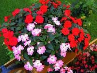 Balkonová okrasná květina na fotografii č.16 má název: (náhled)