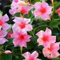 Jak se jmenuje balkonová okrasná květina na obrázku č.19? (náhled)