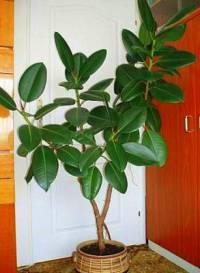 Která pokojová rostlina je na obrázku č.1? (náhled)