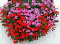 Jaká okrasná květina je na fotografii č.2? (náhled)