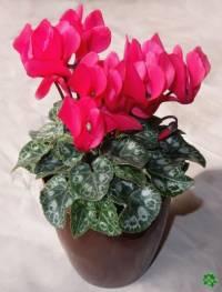Která okrasná květina je na fotografii č.4? (náhled)
