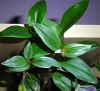 Název pokojové rostliny na obrázku č.5 je: (náhled)