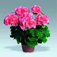 Kterou okrasnou květinu vidíme na fotografii č.10? (náhled)