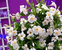 Balkonová okrasná květina na fotografii č.11 má název: (náhled)