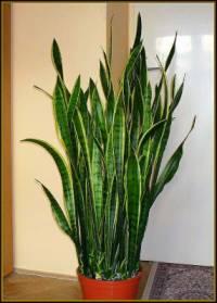 Kterou pokojovou rostlinu vidíme na obrázku č.13? (náhled)