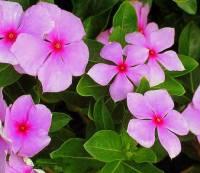 Okrasná rostlina na fotografii č.15 se jmenuje: (náhled)