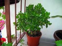 Pokojová rostlina na obrázku č.17 se jmenuje: (náhled)