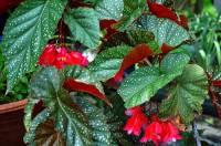 Pokojová květina na fotografii č.19 se jmenuje: (náhled)