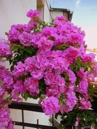 Jak se jmenuje balkonová okrasná květina na obrázku č.20? (náhled)