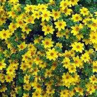 Která okrasná balkonová květina je na fotografii č.7? (náhled)