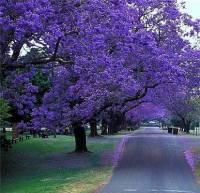 Palisandr strom