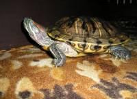 Jaká želva je na obrázku č. 1? (náhled)