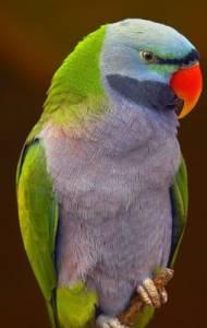 Jaký papoušek je na obrázku č. 6? (náhled)
