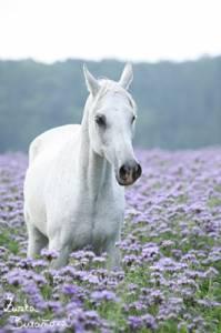 Aké je to plemeno koňa? (náhled)